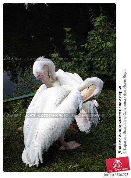 Два пеликана чистят свои перья, фото № 230078, снято 11 июля 2007 г. (c) Карасева Екатерина Олеговна / Фотобанк Лори