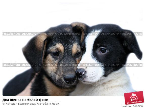 Два щенка на белом фоне, фото № 169966, снято 8 декабря 2007 г. (c) Наталья Белотелова / Фотобанк Лори