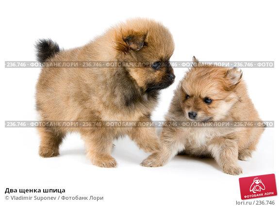 Два щенка шпица, фото № 236746, снято 16 марта 2008 г. (c) Vladimir Suponev / Фотобанк Лори