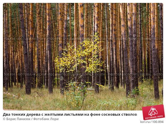 Два тонких дерева с желтыми листьями на фоне сосновых стволов, фото № 100894, снято 4 октября 2007 г. (c) Борис Панасюк / Фотобанк Лори