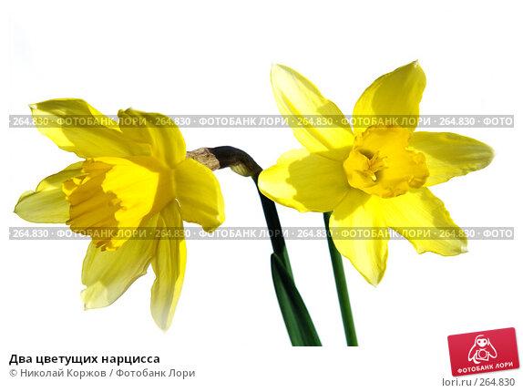 Два цветущих нарцисса, фото № 264830, снято 29 марта 2008 г. (c) Николай Коржов / Фотобанк Лори