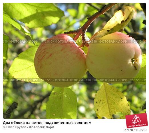 Два яблока на ветке, подсвеченные солнцем, фото № 110510, снято 20 октября 2016 г. (c) Олег Крутов / Фотобанк Лори