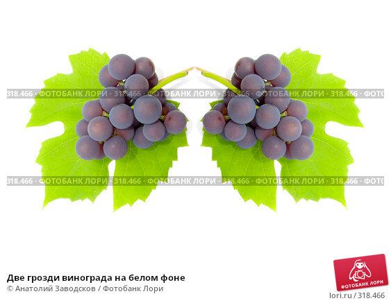 Купить «Две грозди винограда на белом фоне», фото № 318466, снято 1 октября 2006 г. (c) Анатолий Заводсков / Фотобанк Лори