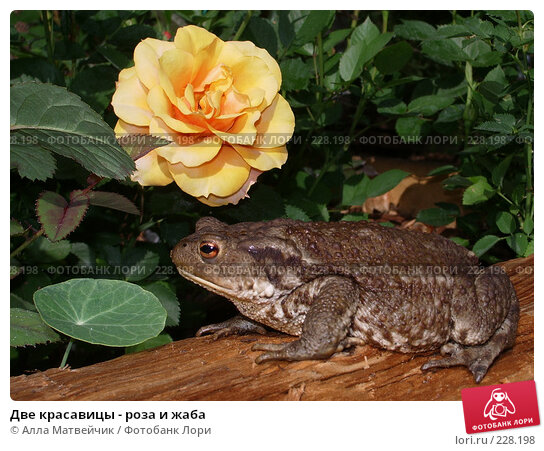 Две красавицы - роза и жаба, фото № 228198, снято 16 июля 2006 г. (c) Алла Матвейчик / Фотобанк Лори