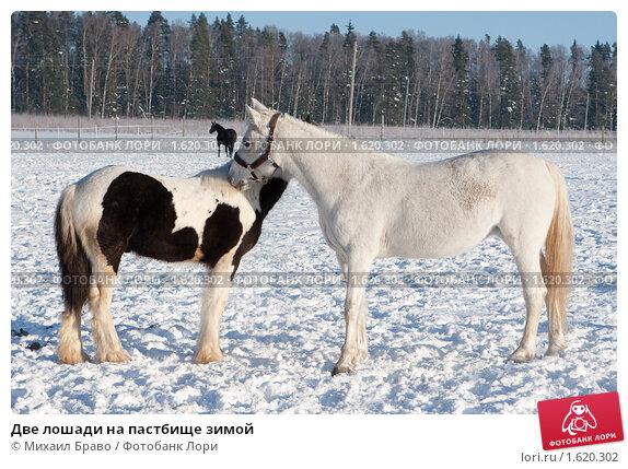 Купить «Две лошади на пастбище зимой», фото № 1620302, снято 10 января 2010 г. (c) Михаил Браво / Фотобанк Лори