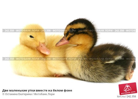 Купить «Две маленькие утки вместе на белом фоне», фото № 242358, снято 24 мая 2007 г. (c) Останина Екатерина / Фотобанк Лори