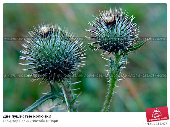 Две пушистые колючки, фото № 214478, снято 28 июля 2007 г. (c) Виктор Пелих / Фотобанк Лори
