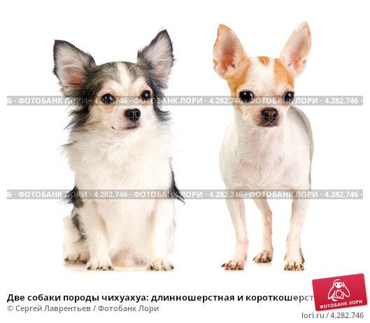 Купить «Две собаки породы чихуахуа: длинношерстная и короткошерстная», фото № 4282746, снято 21 февраля 2019 г. (c) Сергей Лаврентьев / Фотобанк Лори