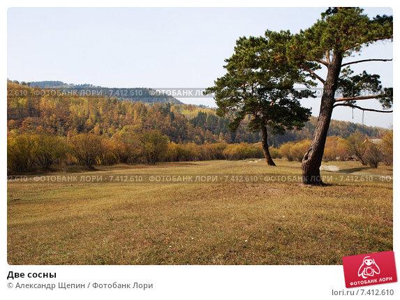 Две сосны. Стоковое фото, фотограф Александр Щепин / Фотобанк Лори