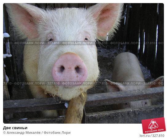 Две свиньи, фото № 327810, снято 27 января 2006 г. (c) Александр Михалёв / Фотобанк Лори