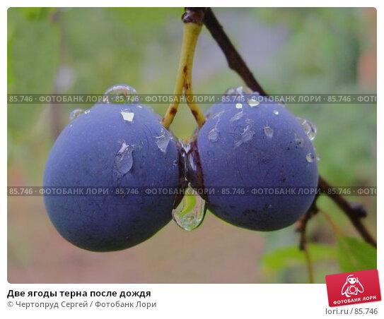 Две ягоды терна после дождя, фото № 85746, снято 1 сентября 2007 г. (c) Чертопруд Сергей / Фотобанк Лори