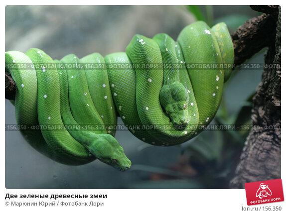 Две зеленые древесные змеи, фото № 156350, снято 10 декабря 2007 г. (c) Марюнин Юрий / Фотобанк Лори