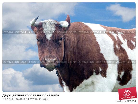 Двухцветная корова на фоне неба, фото № 297074, снято 21 мая 2008 г. (c) Елена Блохина / Фотобанк Лори