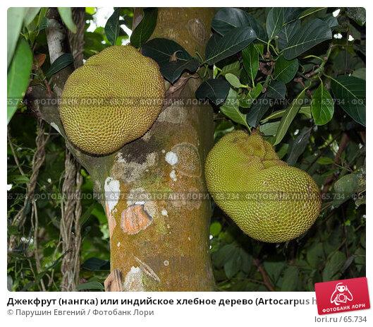 Джекфрут (нангка) или индийское хлебное дерево (Artocarpus heterophyllus), фото № 65734, снято 30 марта 2017 г. (c) Парушин Евгений / Фотобанк Лори