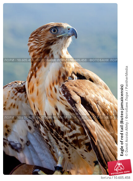 Eagle of red tail (Buteo jamaicensis) Стоковое фото, фотограф David Acosta Allely / PantherMedia / Фотобанк Лори