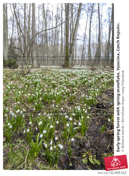 Early spring forest with spring snowflake, Vysocina, Czech Repubic. Стоковое фото, фотограф Richard Semik / easy Fotostock / Фотобанк Лори
