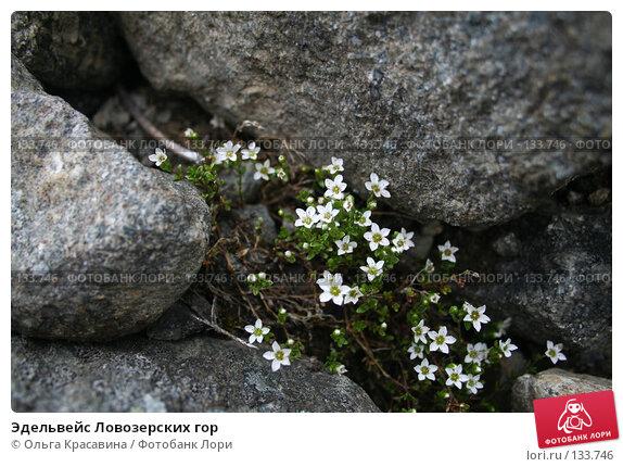 Эдельвейс Ловозерских гор, фото № 133746, снято 8 июля 2006 г. (c) Ольга Красавина / Фотобанк Лори