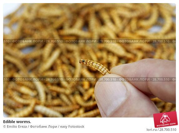 Купить «Edible worms.», фото № 28700510, снято 17 июня 2018 г. (c) easy Fotostock / Фотобанк Лори