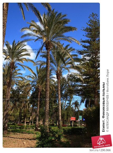 Купить «Египет. Финиковые пальмы», фото № 290066, снято 26 февраля 2008 г. (c) АЛЕКСАНДР МИХЕИЧЕВ / Фотобанк Лори