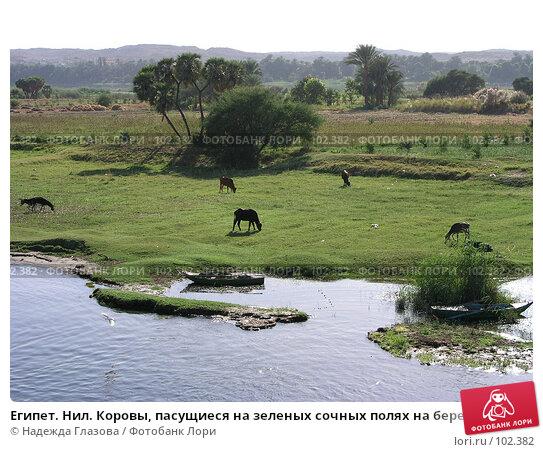 Египет. Нил. Коровы, пасущиеся на зеленых сочных полях на берегу реки, фото № 102382, снято 26 июня 2017 г. (c) Надежда Глазова / Фотобанк Лори