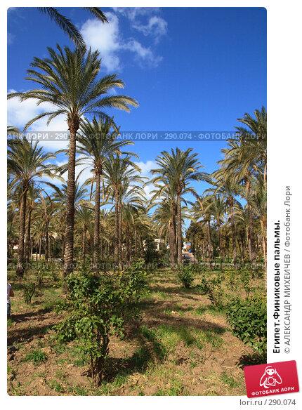 Египет.Финиковые пальмы., фото № 290074, снято 26 февраля 2008 г. (c) АЛЕКСАНДР МИХЕИЧЕВ / Фотобанк Лори