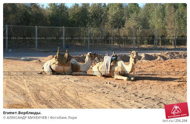 Египет.Верблюды., фото № 256294, снято 19 февраля 2008 г. (c) АЛЕКСАНДР МИХЕИЧЕВ / Фотобанк Лори
