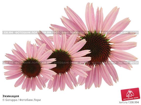 Купить «Эхинацея», фото № 338994, снято 22 июня 2008 г. (c) Goruppa / Фотобанк Лори