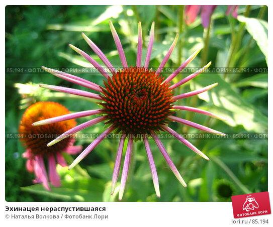 Эхинацея нераспустившаяся, фото № 85194, снято 12 августа 2007 г. (c) Наталья Волкова / Фотобанк Лори