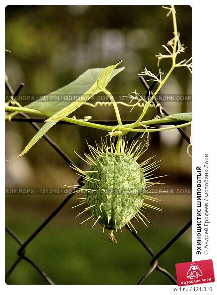 Эхиноцистис шиповатый, фото № 121310, снято 16 сентября 2007 г. (c) Андрей Ерофеев / Фотобанк Лори