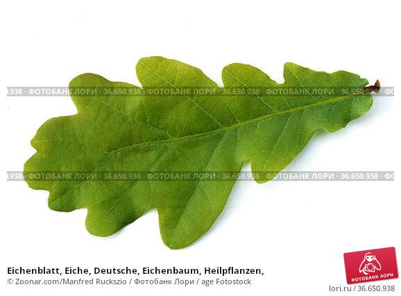 Eichenblatt, Eiche, Deutsche, Eichenbaum, Heilpflanzen, Стоковое фото, фотограф Zoonar.com/Manfred Ruckszio / age Fotostock / Фотобанк Лори