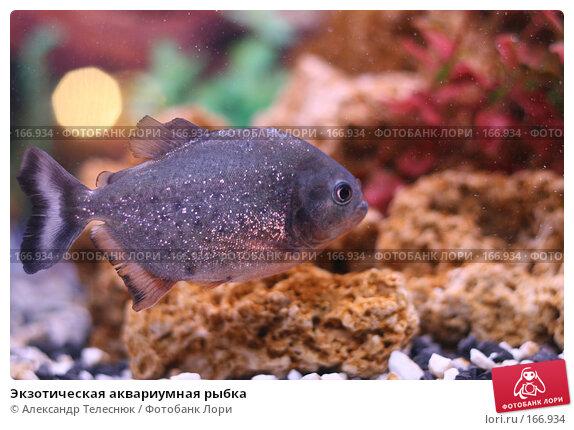 Купить «Экзотическая аквариумная рыбка», фото № 166934, снято 7 апреля 2007 г. (c) Александр Телеснюк / Фотобанк Лори