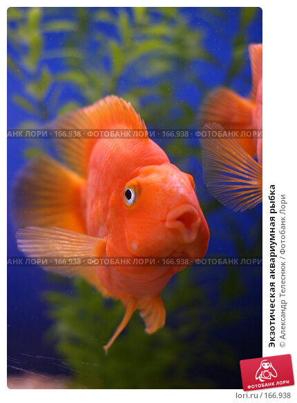 Экзотическая аквариумная рыбка, фото № 166938, снято 7 апреля 2007 г. (c) Александр Телеснюк / Фотобанк Лори