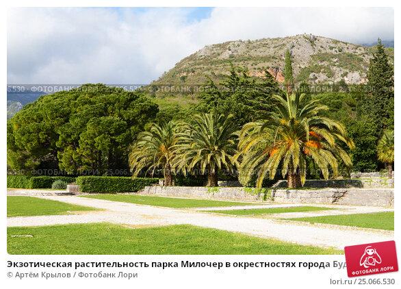 Купить «Экзотическая растительность парка Милочер в окрестностях города Будва, Черногория», эксклюзивное фото № 25066530, снято 12 апреля 2016 г. (c) Артём Крылов / Фотобанк Лори
