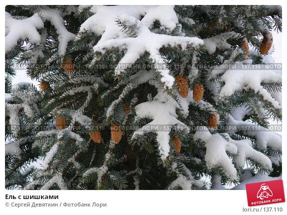 Ель с шишками, фото № 137110, снято 4 декабря 2007 г. (c) Сергей Девяткин / Фотобанк Лори