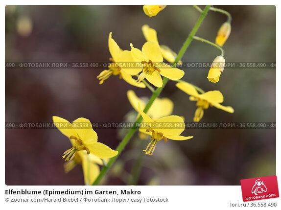 Elfenblume (Epimedium) im Garten, Makro. Стоковое фото, фотограф Zoonar.com/Harald Biebel / easy Fotostock / Фотобанк Лори