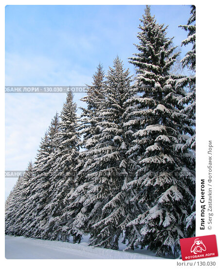 Ели под Снегом, фото № 130030, снято 17 декабря 2004 г. (c) Serg Zastavkin / Фотобанк Лори