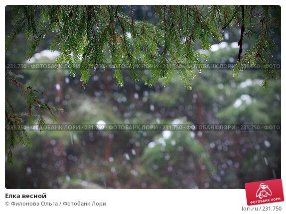 Елка весной, фото № 231750, снято 23 марта 2008 г. (c) Филонова Ольга / Фотобанк Лори