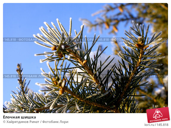 Ёлочная шишка, фото № 145818, снято 8 декабря 2007 г. (c) Хайрятдинов Ринат / Фотобанк Лори