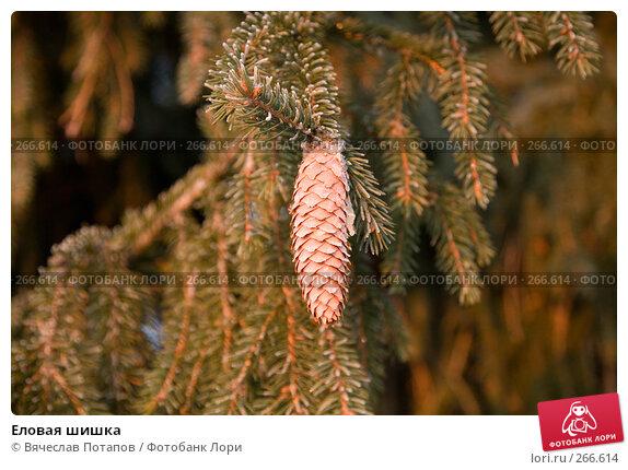 Купить «Еловая шишка», фото № 266614, снято 1 января 2008 г. (c) Вячеслав Потапов / Фотобанк Лори