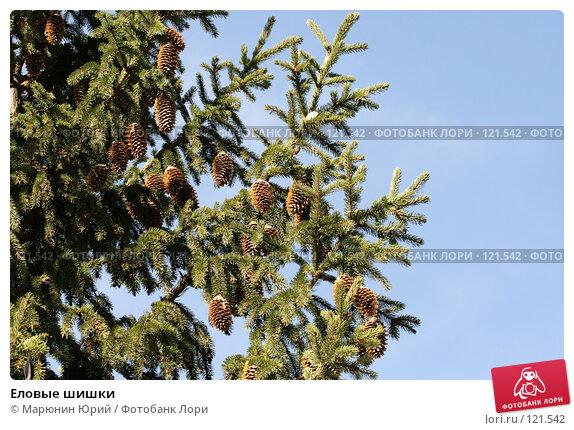 Купить «Еловые шишки», фото № 121542, снято 7 октября 2007 г. (c) Марюнин Юрий / Фотобанк Лори