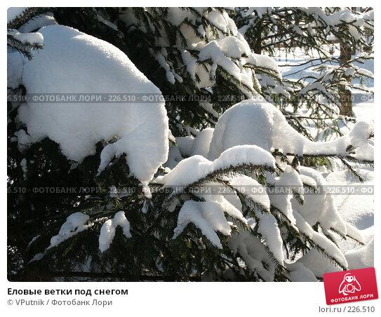 Еловые ветки под снегом, фото № 226510, снято 8 февраля 2007 г. (c) VPutnik / Фотобанк Лори