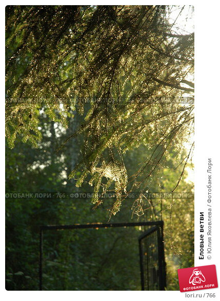 Еловые ветви, фото № 766, снято 5 августа 2005 г. (c) Юлия Яковлева / Фотобанк Лори