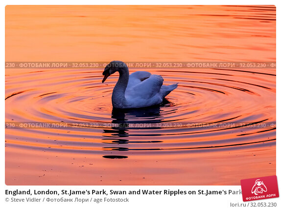 England, London, St.Jame's Park, Swan and Water Ripples on St.Jame's Park Lake. Стоковое фото, фотограф Steve Vidler / age Fotostock / Фотобанк Лори