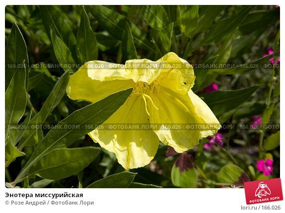 Энотера миссурийская, фото № 166026, снято 23 июня 2007 г. (c) Розе Андрей / Фотобанк Лори
