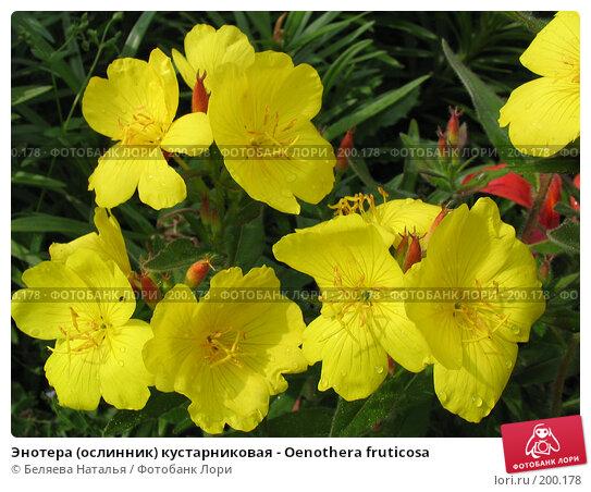 Энотера (ослинник) кустарниковая - Oenothera fruticosa, фото № 200178, снято 11 июля 2006 г. (c) Беляева Наталья / Фотобанк Лори