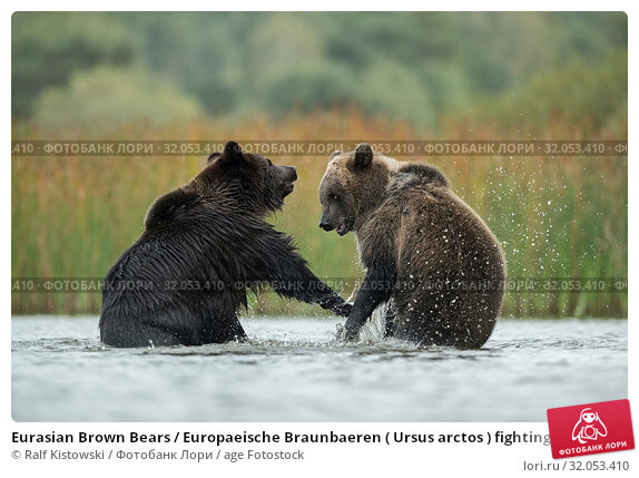 Eurasian Brown Bears / Europaeische Braunbaeren ( Ursus arctos ) fighting, struggling, in fight, standing on hind legs in the shallow water of a lake, Europe. Стоковое фото, фотограф Ralf Kistowski / age Fotostock / Фотобанк Лори