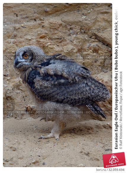 Eurasian Eagle Owl / Europaeischer Uhu ( Bubo bubo ), young chick, owlet in a sand pit, waldking, exploring its surrounding, wildlife, Europe. Стоковое фото, фотограф Ralf Kistowski / age Fotostock / Фотобанк Лори