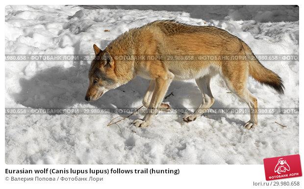 Купить «Eurasian wolf (Canis lupus lupus) follows trail (hunting)», фото № 29980658, снято 17 февраля 2019 г. (c) Валерия Попова / Фотобанк Лори