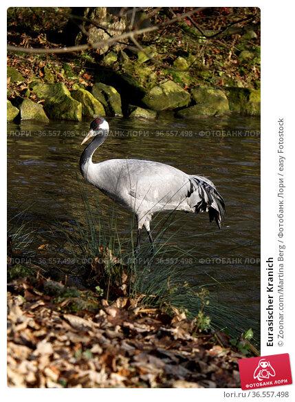 Eurasischer Kranich. Стоковое фото, фотограф Zoonar.com/Martina Berg / easy Fotostock / Фотобанк Лори