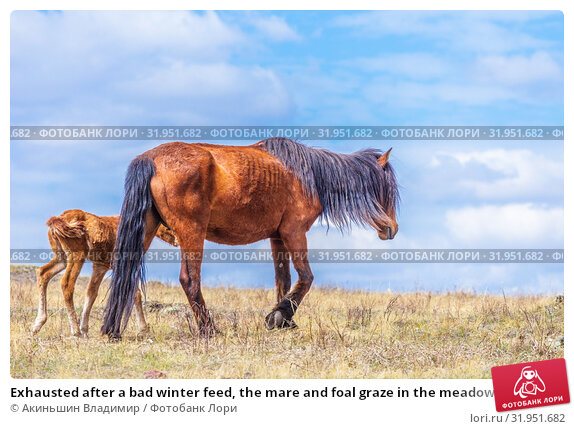 Купить «Exhausted after a bad winter feed, the mare and foal graze in the meadow.», фото № 31951682, снято 24 апреля 2019 г. (c) Акиньшин Владимир / Фотобанк Лори